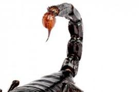 Первая помощь при укусах скорпионами