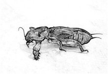 Медведки от туберкулеза