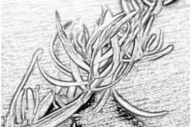 Лекарственные растения - эстрагон