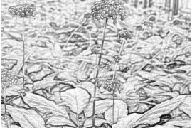 Лекарственные растения - заманиха