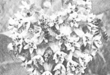Лекарственные растения - Эскулапова трава
