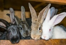 Преимущества кролиководства перед птицеводством