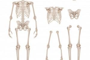 Анатомия костей: Костная структура