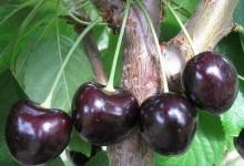 Преимущества посадки фруктовых деревьев в саду